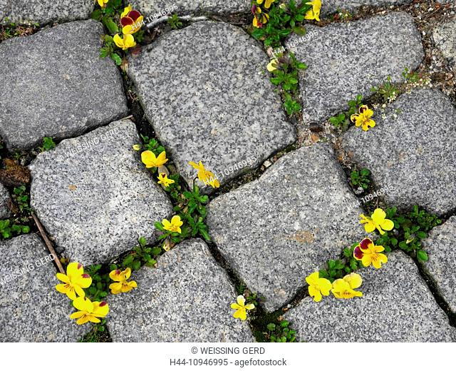 Flowers, pansies, violas, wildly, paving-stones, to scratches, yellow, blossoms, flourishes, weed, survive