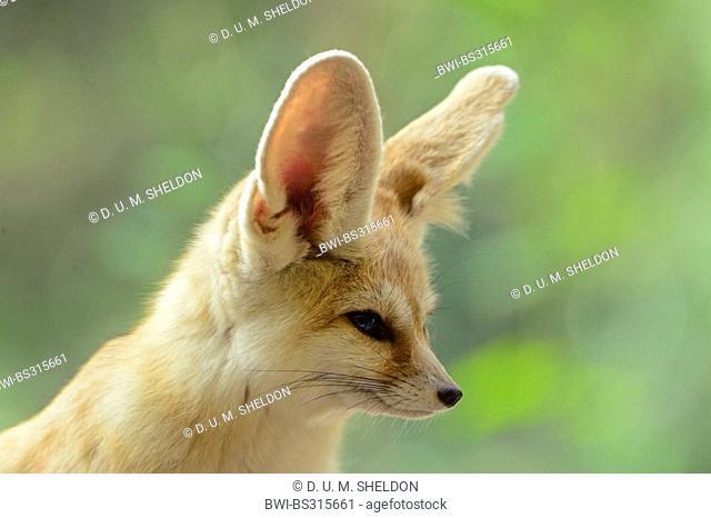 fennec fox (Fennecus zerda, Vulpes zerda), portrait
