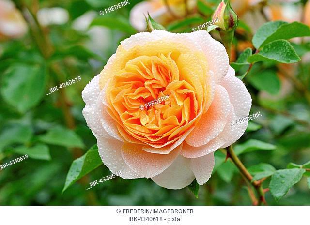 Floribunda, Sangerhäuser Anniversary Rose, Rose Cervia, Kordes 2003 apricot-coloured flower, North Rhine-Westphalia, Germany