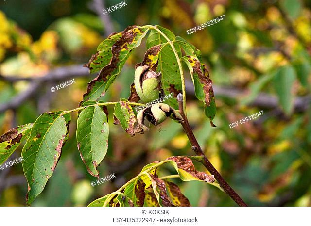 Black walnut tree autumn Stock Photos and Images | age fotostock