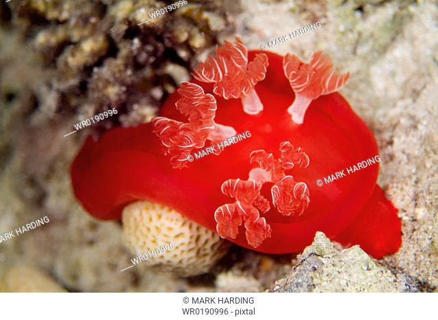 Spanish Dancer Hexabranchus sanguineus Spectacular and largest of the nudibranchs naked gills and are reported to reach up to 50 cms in length Nocturnal Red Sea