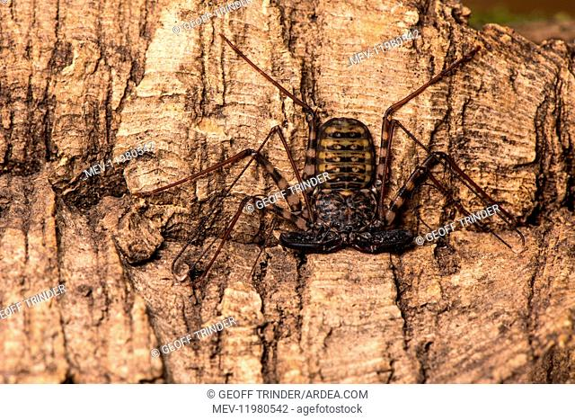 Whip-tailed scorpion - resting on bark - Taken under controlled conditions in UK