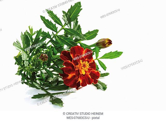 Marigold Tagetes, close-up