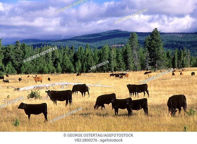 Logan Valley cattle, Malheur National Forest, Oregon