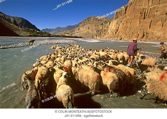 Flock of sheep crossing river, shepherds drive sheep to market in Pokhara. Kingdom of Mustang. Nepal