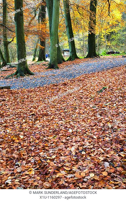 Fallen Leaves and Couple Walking Strid Wood Wharfedale Yorkshire England
