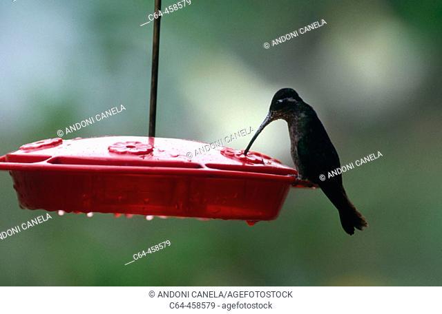 Magnificent Hummingbird (Eugenes fulgens). Costa Rica