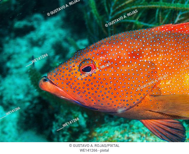 Coney Grouper, Cephalopholis fulva, Los Roques, Venezuela phase coloration bright red