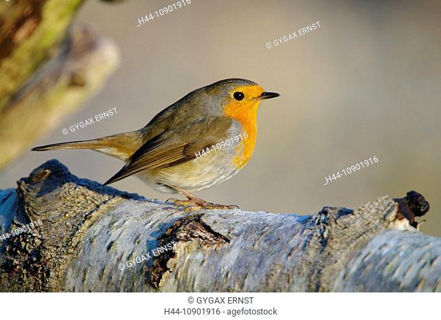 Swiss, Switzerland, Rheineck, avian, marsh tit, robin, bird, birds, animal, forest, little