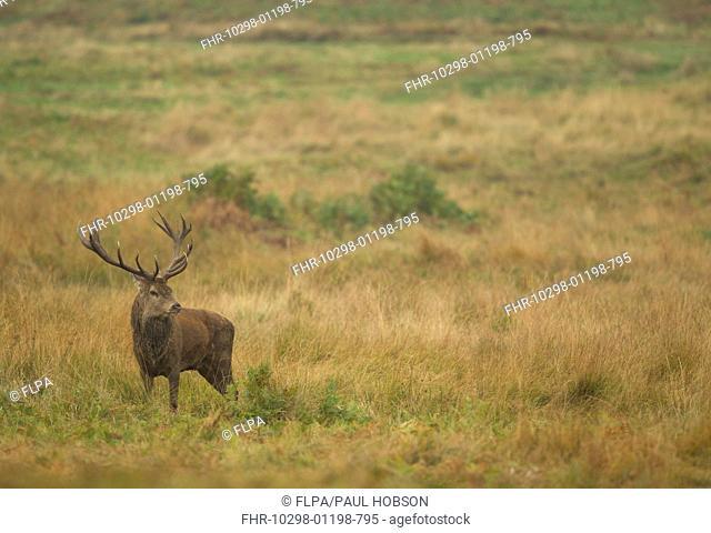 Red Deer (Cervus elaphus) stag, standing in parkland habitat, during rutting season, Bradgate Park, Leicestershire, England, October