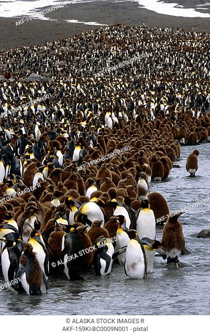Group of Oakum Boys on edge of huge King Penguin colony in stream South Georgia Island Antarctic Summer