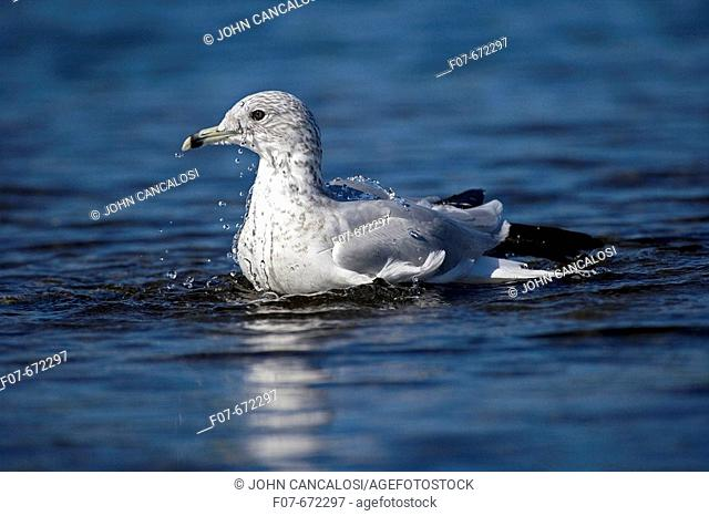 Ring-billed Gull (Larus delawarensis). New York. USA. Adult swimming in lake. Most commonly seen gull. Especially inland