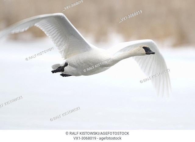 Trumpeter Swan (Cygnus buccinator) in winter, in flight, flying above a frozen river, over snow, Grand Teton National Park, USA