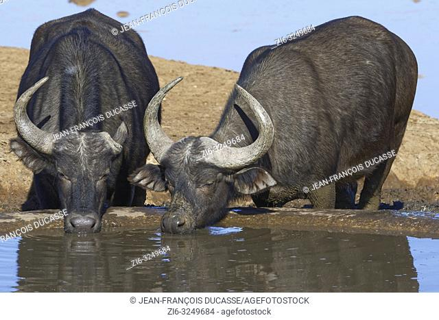 African buffaloes (Syncerus caffer), two adults, one with a single horn, drinking at a waterhole, Addo Elephant National Park, Eastern Cape, South Africa