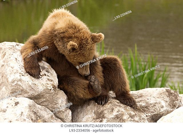 Brown bear (Ursus arctos) sitting on a rock