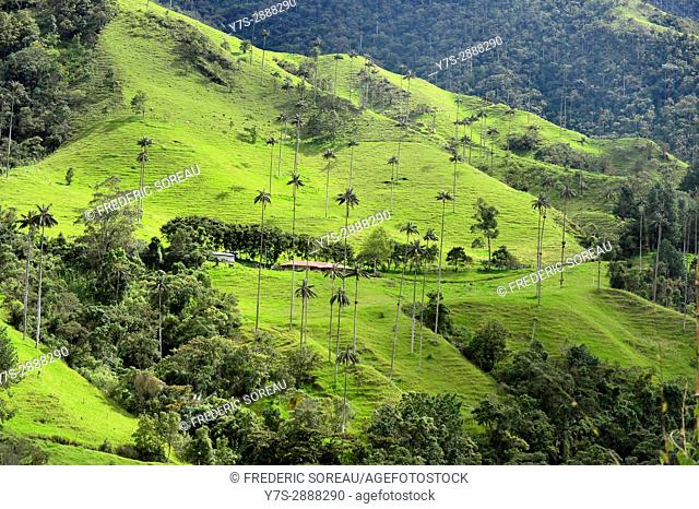 Wax palm tree (Ceroxylon quiniuense), national tree of Colombia,highest palm tree of the world,Valle Cocora,Colombia
