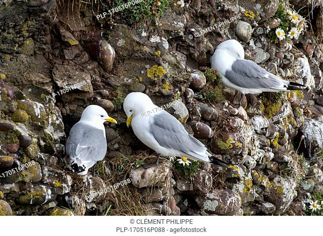 Black-legged kittiwakes (Rissa tridactyla) nesting on rock ledges in sea cliff face at seabird colony, Fowlsheugh, Aberdeenshire, Scotland, UK