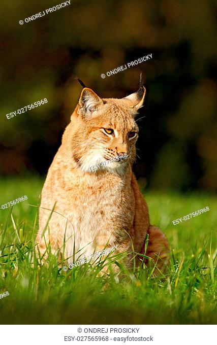 Wild cat Lynx in the nature meadow habitat. Eurasian Lynx