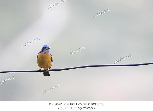 Blue-capped Rock-thrush (Monticola cinclorhyncha), male perched on wire. Pangot. Nainital district. Uttarakhand. India