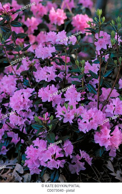"Rhododendron ""Olga"""