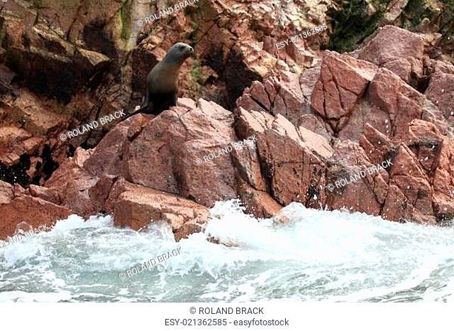 Seehunde auf Islas Ballestas