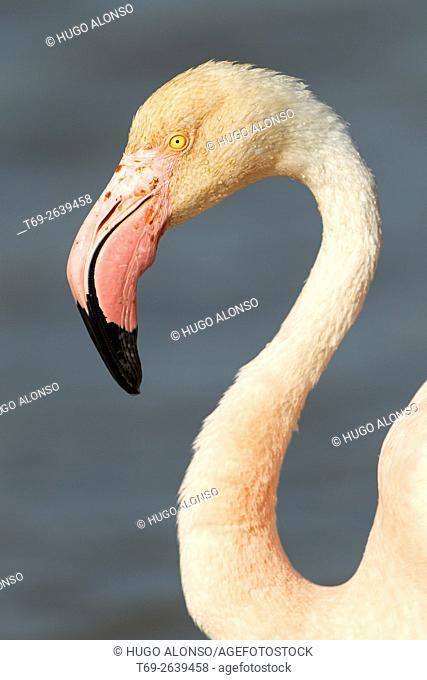 Head of Greater flamingo. Phoenicopterus roseus