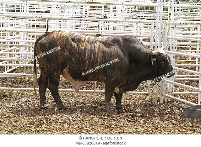 Canada, Alberta, Calgary, Stampede, rodeo, bull