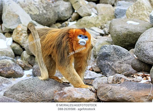 Asia, China, Shaanxi province, Qinling Mountains, Golden Snub-nosed Monkey (Rhinopithecus roxellana), adult male near a river