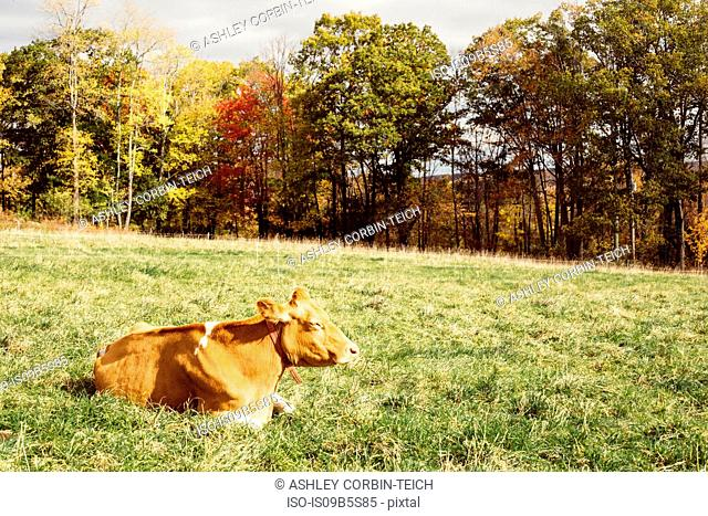 Cow resting on grass, Guilford, Vermont, USA