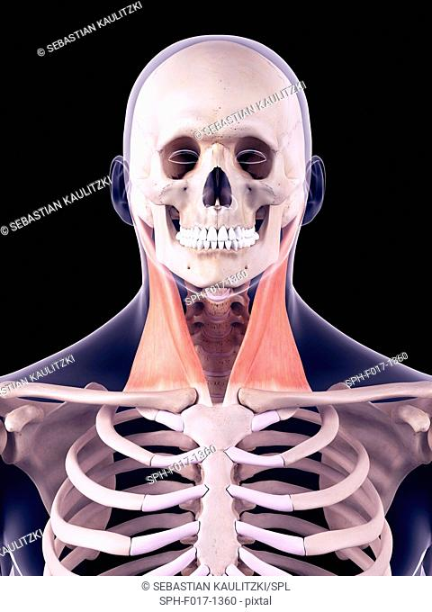 Illustration of the sternocleidomastoid muscles