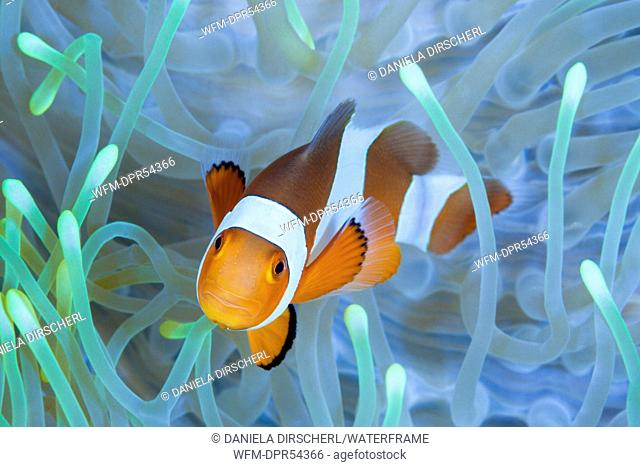 Clown Anemonefish, Amphiprion ocellaris, Bali, Indonesia