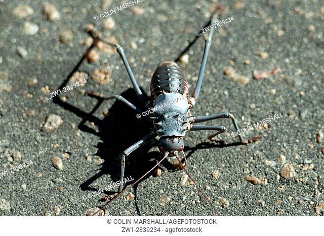 Armoured Bush Cricket (Acanthoplus discoidalis) on tarmac, Kruger National Park, Transvaal, South Africa