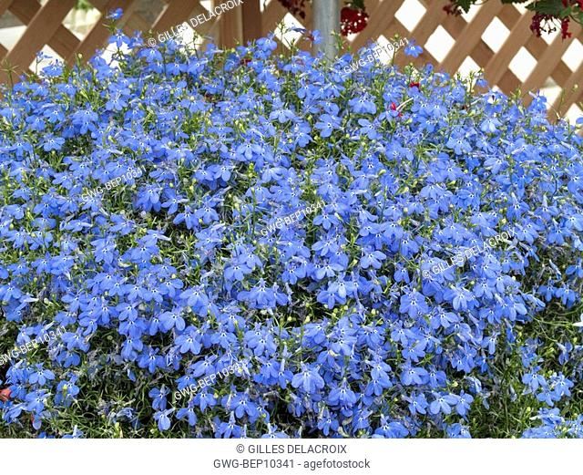 Lobelia Erinus Techno Blue Stock Photos And Images Age Fotostock