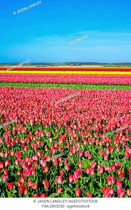 Netherlands, North Holland, Den Helder. Rows of colorful flowering tulips in a bulb field in spring