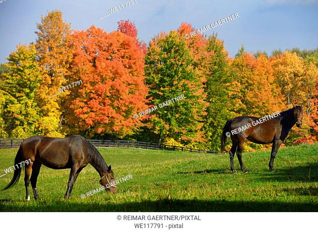 Two brown horses in a paddock with red Fall maple trees in Caledon Ontario
