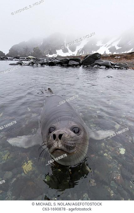 Friendly southern elephant seal Mirounga leonina weaner pup close up on the beach at Snow Island, Antarctica