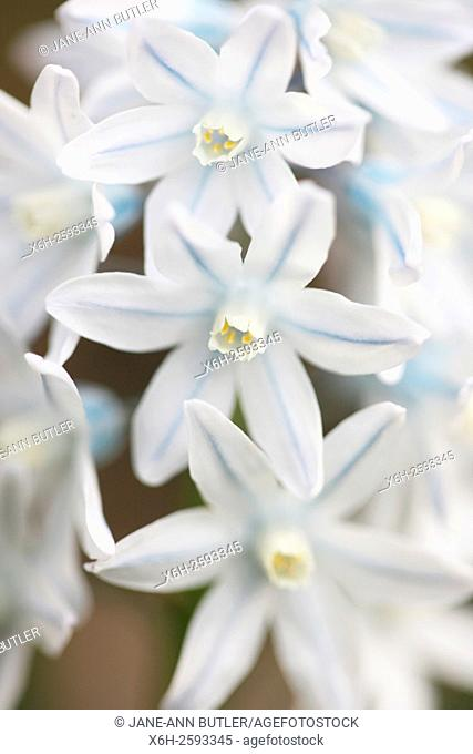 charming silvery blue spring flowers also known as striped squills