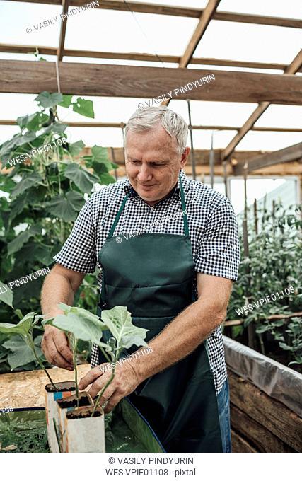 Mature man, gardener in greenhouse, looking at plants