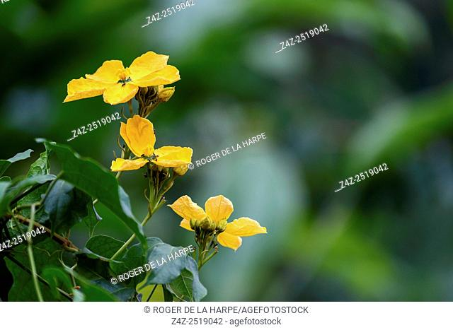 Marantaceae forest vegetation. Odzala-Kokoua National Park. Cuvette-Ouest Region. Republic of the Congo