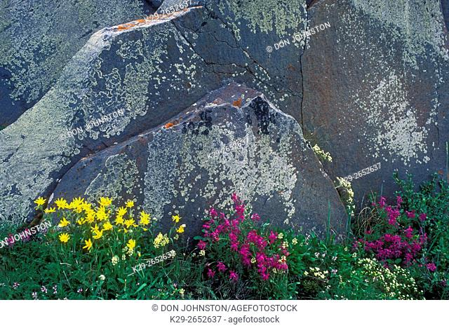 Hudson Bay wildflowers blooming among lichen-covered rocks, Churchill, Manitoba, Canada