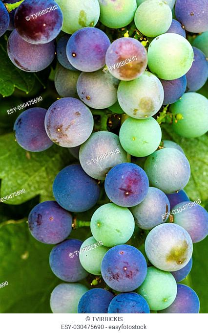 Close up of multiple bunches of red wine grapes ripening on grapevine in vineyard