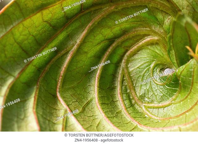 Spiraled Leaf in Botanical Garden Erfurt. Germany