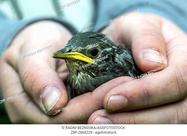 Sturnus vulgaris, Starling, Young bird