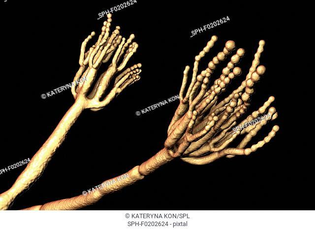 Penicillium fungus, illustration