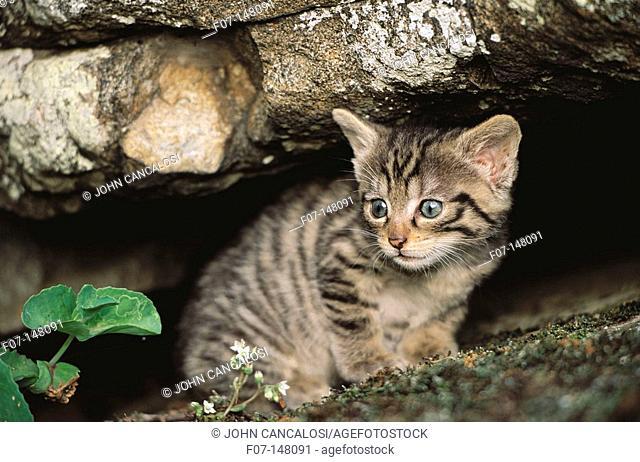 Wildcat (Felis silvestris). Spain