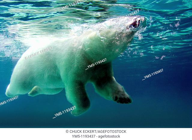 Polar Bear surfacing to breath while swimming underwater  Concept could be 'Coming up for Air' or 'Relief' or 'Take a Breath or Breather'