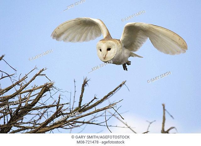 Barn Owl, tyto alba, hunting along roadside hedge, Norfolk, UK, March
