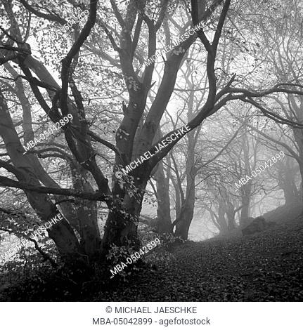 Beeches in fog
