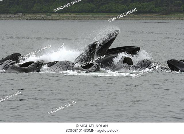 Adult humpback whales Megaptera novaeangliae cooperatively bubble-net feeding near Freshwater Bay on Chichagof Island in Southeast Alaska