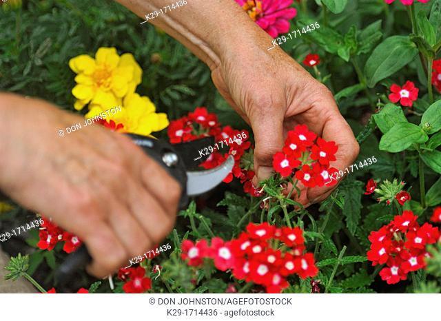 Gardener using clippers to 'deadhead' garden flowers- Verbena in a planter, Greater Sudbury Lively, Ontario, Canada
